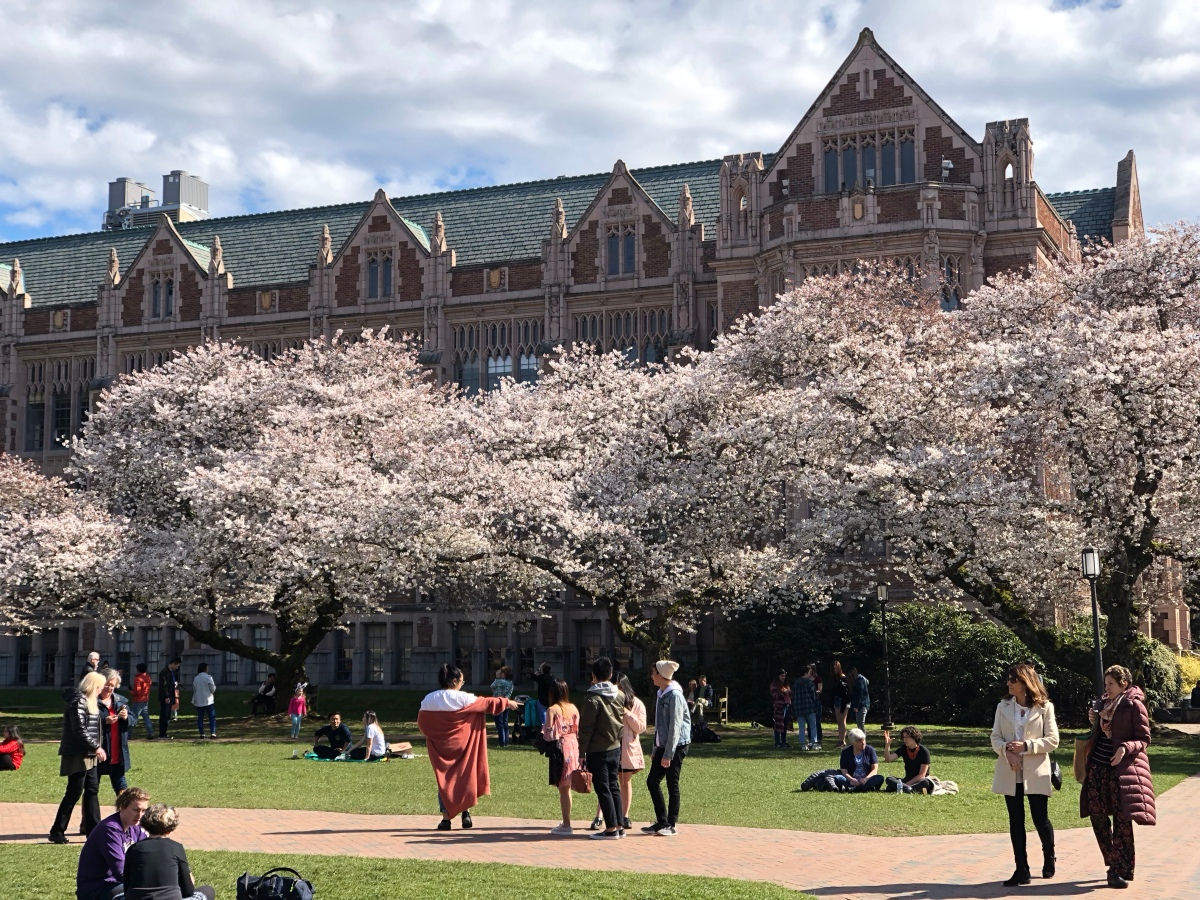 Cherry Blossoms at U of W quad.